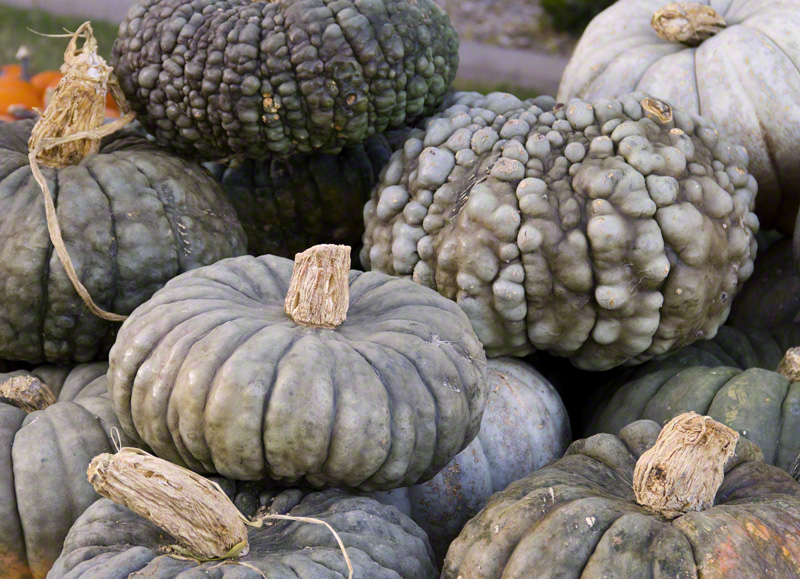 Gray Pumpkins