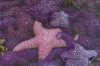 Pink and Purple Star Fish