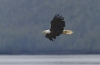 Bald Eagle Flight III