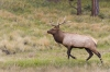 Bull Elk