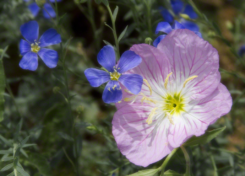 Pink Evening Primrose and Blue Flax #0200