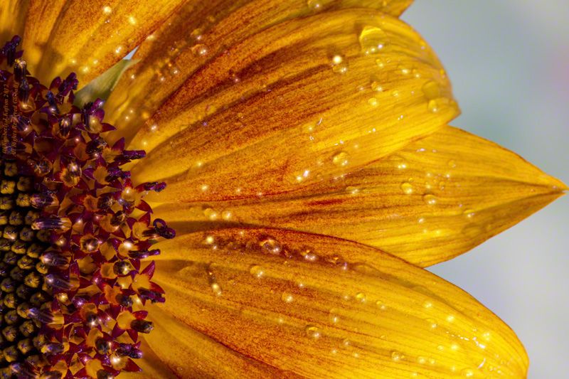 Sunflower and Rain Drops
