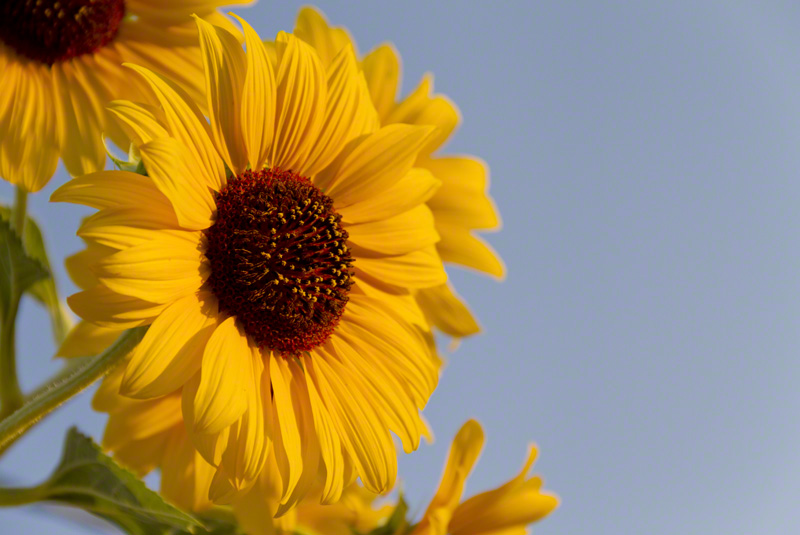 Sunflower Kind of Day