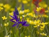 Blue Camas