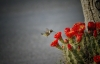 Claret Cup Cactus and Humming Bird
