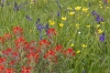  Red Indian Paint Brush, blue Common Camas, and yellow Buttercup flowers; Yellow Island; San Juan Islands; Washington
