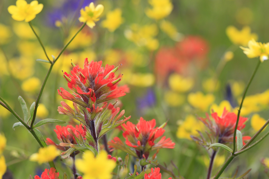 Indian Paint Brush and Buttercup Flowers, Yellow Island, San Juan Islands, WA