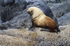 Shy Sea Lion, Queen Charlotte Strait, British Columbia, Canada