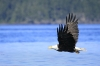 Eagle in Flight, Queen Charlotte Strait, British Columbia, Canada