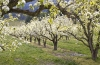 Apple Orchard in Bloom, Pine Grove, Oregon