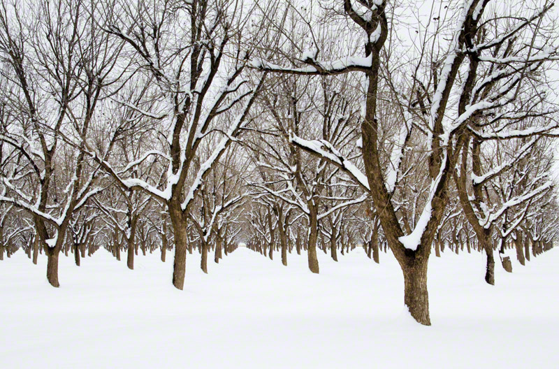 Christmas Snow in the Pecan Orchard