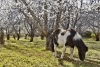 Pony and Cherry Orchard